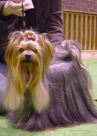 Yorkshire Terrier Rüde Royal Tiffany's Great Scott