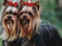 Royal Tiffany's Kowalski Yorkshire Terrier