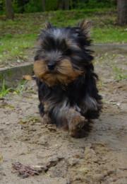 Yorkshire-Terrier Welpen kauf